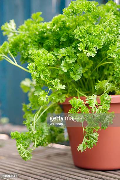Parsley plant, close up