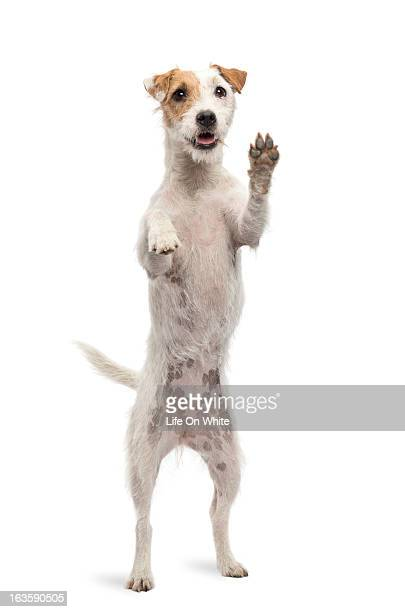 Parson Russel Terrier standing on hind legs