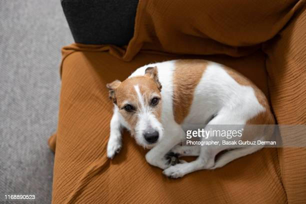 a parson russell terrier dog lying down on a sofa, relaxed, looking up - 寝具 ストックフォトと画像