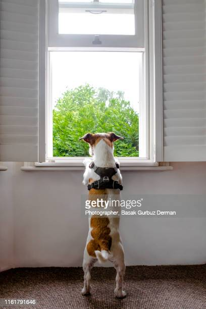 parson russell terrier looking outside from the window curiously, watching outside, waiting for the owners to come home - defending stock pictures, royalty-free photos & images