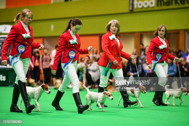 Parson Russell terriers are shown on day 2 of the Cruft's dog show at the NEC Arena on March 6 2020 in Birmingham England The annual fourday show...