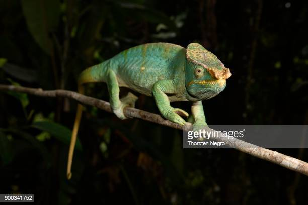 parsonchamaleon (calumma parsonii parsonii), male, mountain misty forests, ranomafana national park, madagascar - ranomafana national park stock photos and pictures