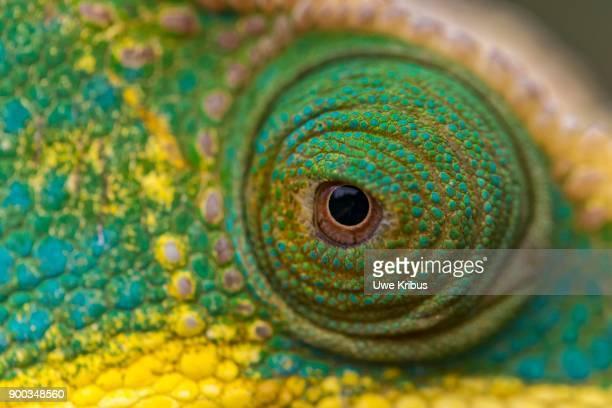 parsons chameleon (calumma parsonii), eye, detail, national park ranomafana, madagascar - ranomafana national park stock photos and pictures