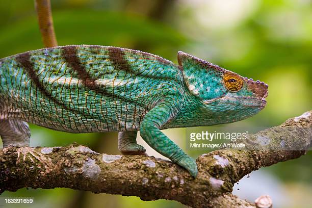 Parson's chameleon, Madagascar