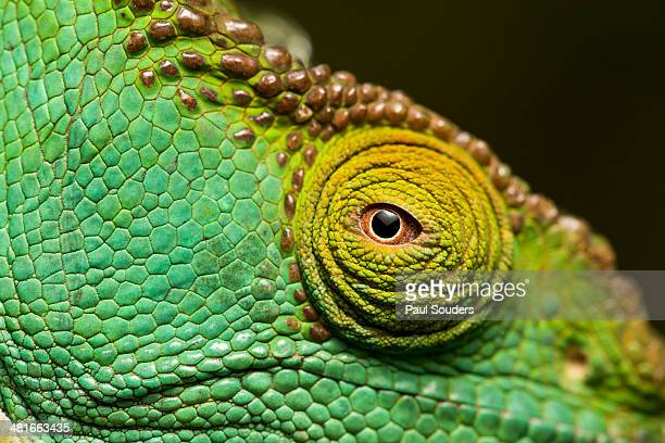 parson?s chameleon, madagascar - east african chameleon stock pictures, royalty-free photos & images