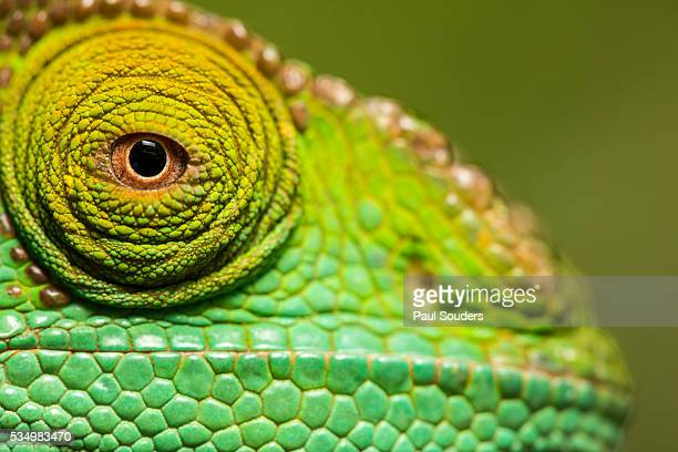 parsons chameleon, madagascar - east african chameleon stock pictures, royalty-free photos & images