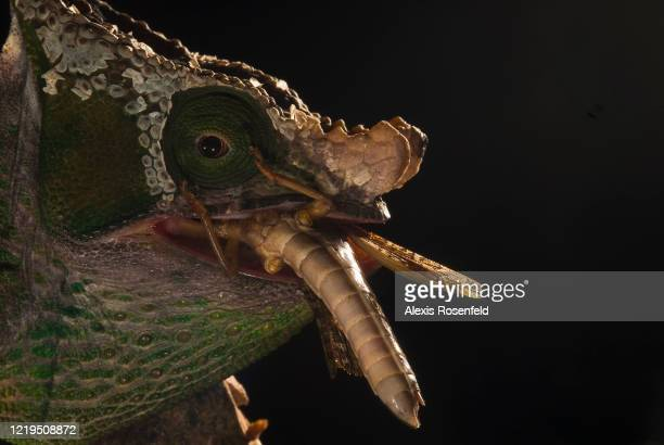 Parson's chameleon male is eating a big insect on July 06 Madagascar Mozambique Channel Africa This subspecies of the Parson's chameleon mainly lives...