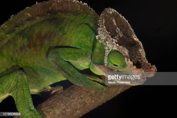 Parson's chameleon male on a tree branch on July 06 Madagascar Mozambique Channel Africa This subspecies of the Parson's chameleon mainly lives in...