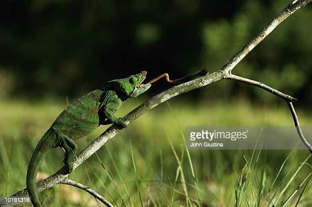 Parson's chameleon (Chameleon parsoni)