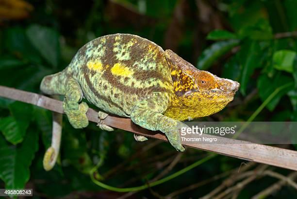 parson's giant chameleon -calumma parsonii parsonii-, voimana, ost-madagaskar, madagascar - squamata stock photos and pictures