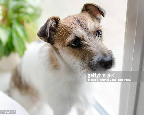 Parsons Jack Russell