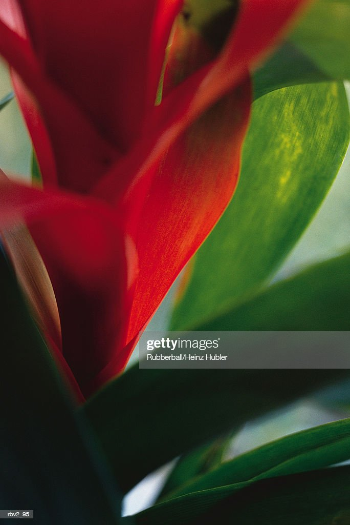 part of a red flower on a green stem : Stockfoto