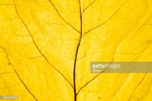 part of dried tobacco leaf - leaf stock pictures, royalty-free photos & images