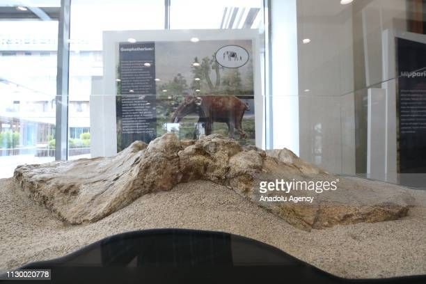 A part of the hip bone of a Gomphotherium fossil an extinct genus of proboscid from the Neogene and early Pleistocene of Eurasia Africa and North...