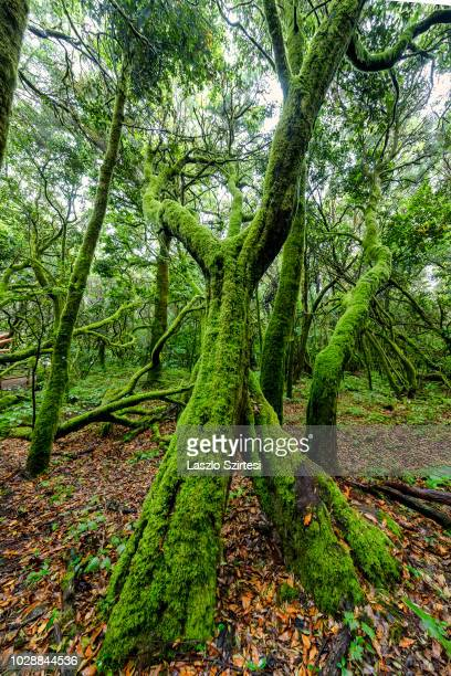 A part of the laurel forest is seen in the Garajonay National Park at Laguna Grande on August 18 2018 in La Gomera Spain This laurel forest is a...