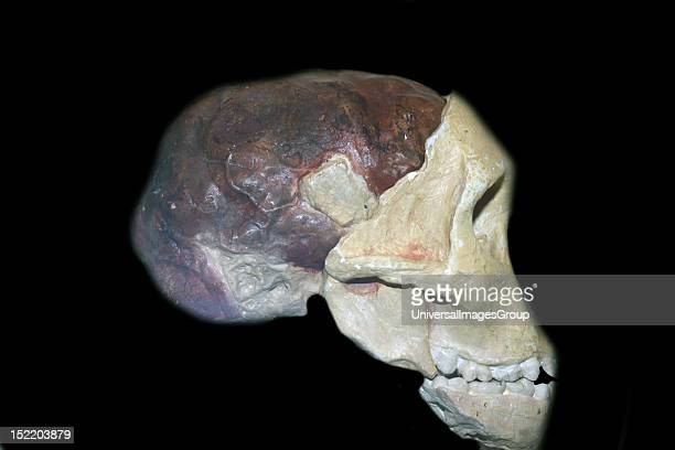 Part of the skull and brain cast of a young gracile australopithecine, Australopithecinus africanus. Original in the University of the Witwatersrand,...