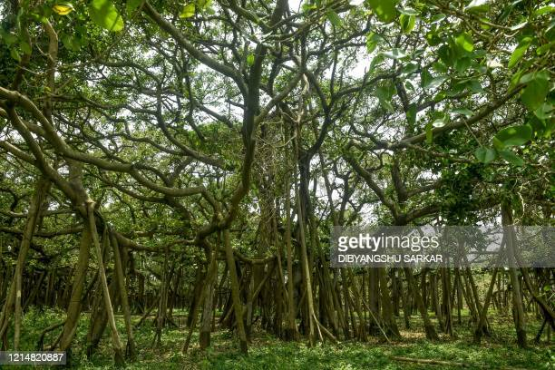 A part of the twocenturiesold Great Banyan Tree that has been ravaged following the landfall of cyclone Amphan at the Indian Botanical Garden in...
