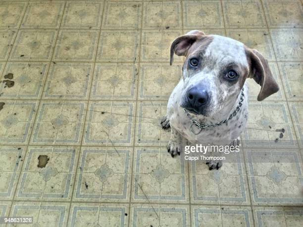 part pitbull mutt dog looking sad and sitting on kitchen floor - dierenwelzijn stockfoto's en -beelden