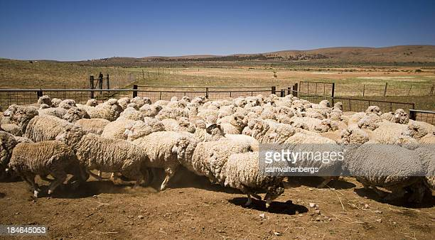 Partacoona Station Sheep