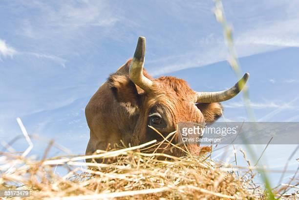 Parthenaise cattle feeding on hay