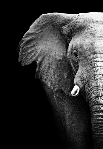Partial image of a black and white elephant 178757098