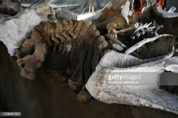 Partial view of part of the skeletons of mammoths found during a recent excavation, at the Santa Lucia Military Base in the Municipality of Zumpango,...