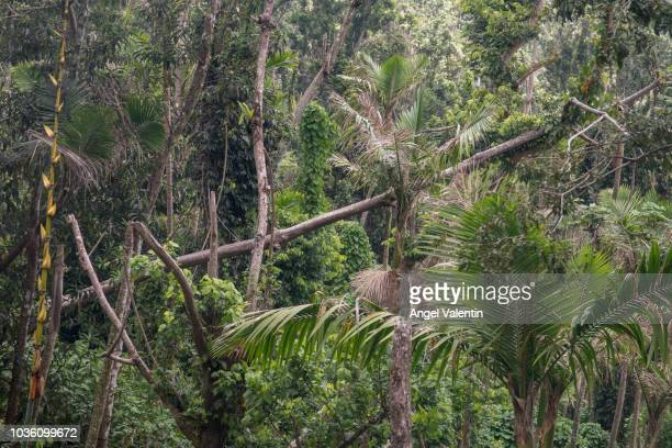 Partial view of the flora of the El Yunque Rain Forest on September 19 2018 in Rio Grande Puerto Rico The green color is rapidly returning to the...