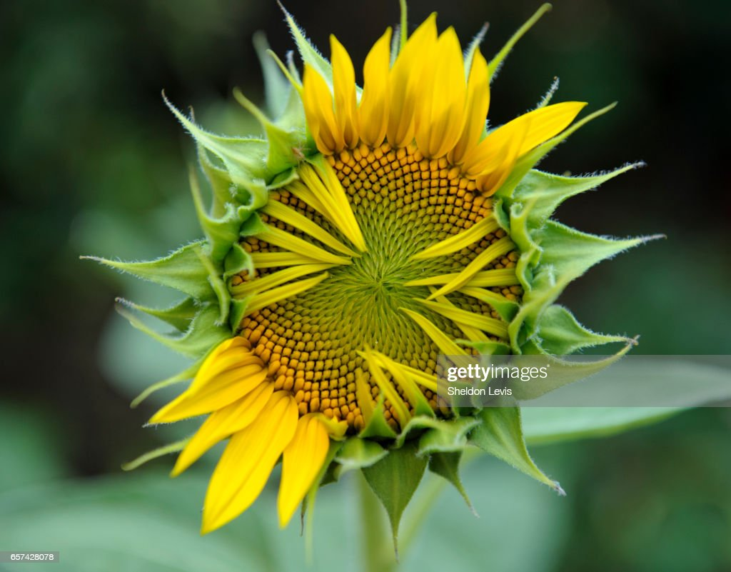 Partially opened Sunflower : Stock Photo