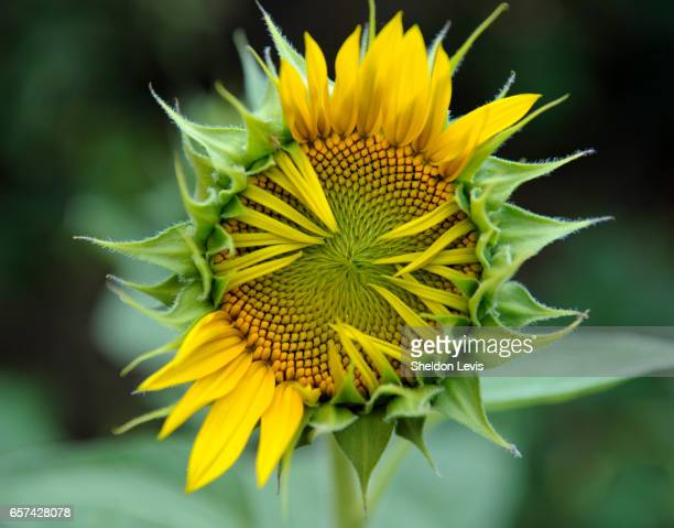 partially opened sunflower - by sheldon levis stock pictures, royalty-free photos & images