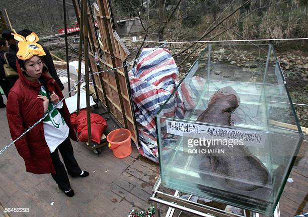 A participant admires a Chinese giant salamander the largest in the world which can grow up to 18 meters in length lying in a glass enclosure during...