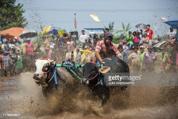 A participant holds on to his livestock during a buffalo race in Probolinggo East Java on October 19 2019 Some fifty teams took part in the annual...
