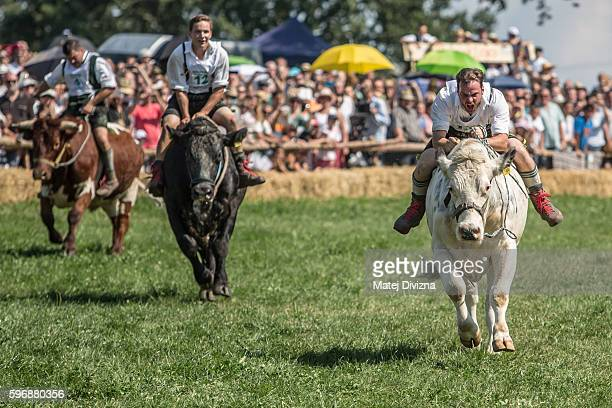 Participant Michael Pfatrisch wearing traditional Bavarian lederhosen races to the finish on his ox Baze in the 2016 Muensing Oxen Race on August 28...