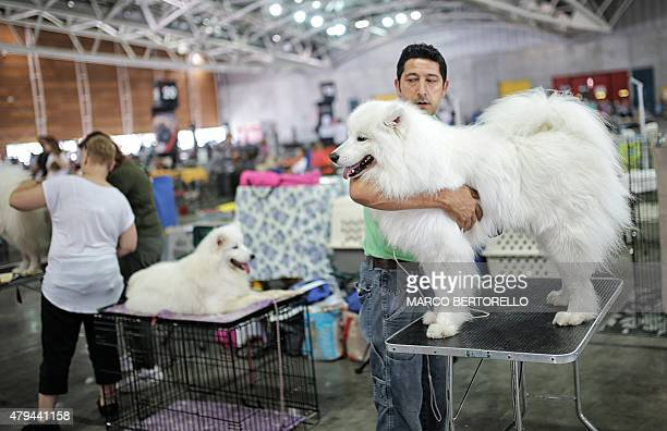 A participant prepares his Samoyed dog during the International Dog Show competition in Turin on July 4 2015 AFP PHOTO / MARCO BERTORELLO