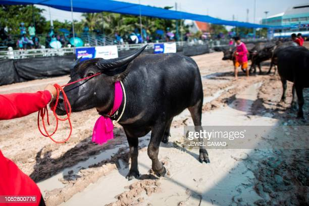 A participant pulls a buffalo to the start line during the annual buffalo races in Chon Buri on October 23 2018 Several hefty buffaloes thunder down...