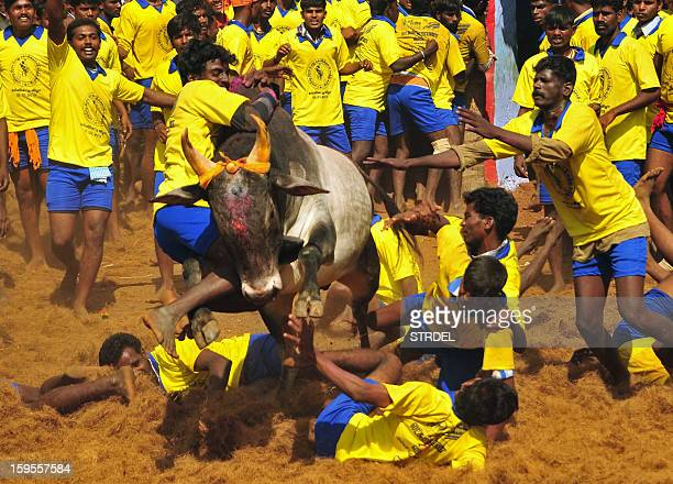 Participants attempt to hold down a bull during the traditional bull taming festival called 'Jallikattu' in Palamedu near Madurai around 500km south...
