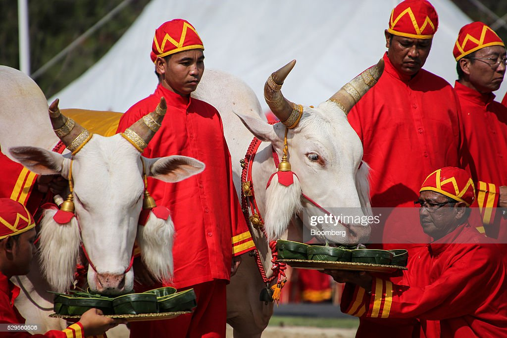 Participants feed oxen during the Royal Ploughing Ceremony at Sanam Luang park in Bangkok, Thailand, on Monday, May 9, 2016. This year may be a better one for Thai rice production. At least, that's what two sacred oxen and a ceremonial lord forecast at an annual ploughing ceremony. Photographer: Dario Pignatelli/Bloomberg via Getty Images