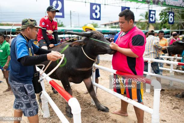 Participants hold down a buffalo at the start line during the annual buffalo races in Chon Buri on October 23 2018 Several hefty buffaloes thunder...