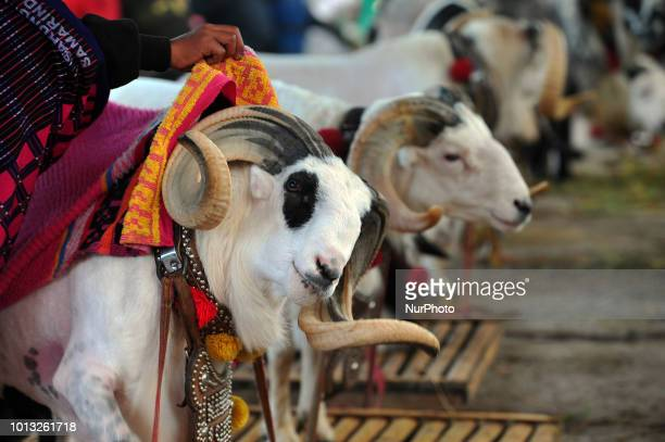 Participants of the Garut sheep wait their turn for the dexterity match in the village of Rancabango Garut West Java in August2018 The match was...