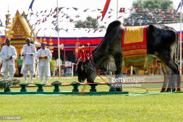 Participants perform a ritual with oxen during the annual royal ploughing ceremony in Takeo on May 22 2019