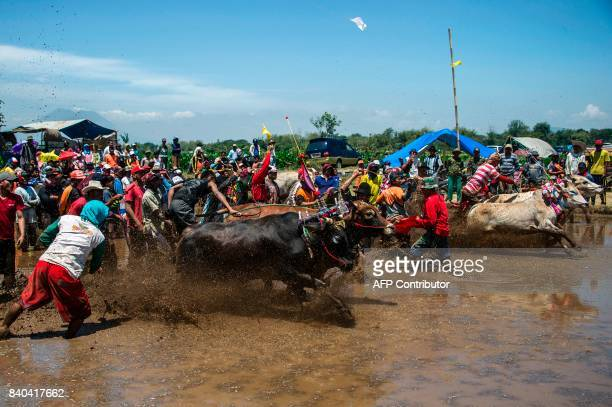 Participants take part in a buffalo race in Probolinggo East Java on August 29 2017 Some fifty teams took part in the annual buffalo race to mark the...