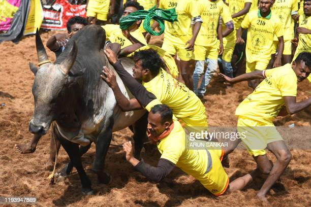 Participants try to control bulls during the annual bull taming 'Jallikattu' festival in Palamedu village on the outskirts of Madurai in the southern...