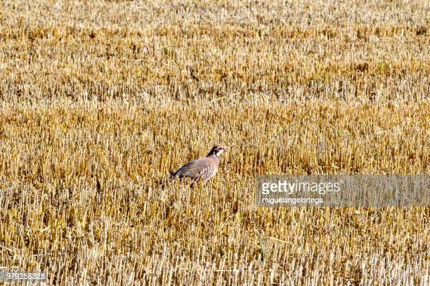 A partridge appears between the sowing of cereal