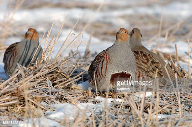 Partridge in the snow