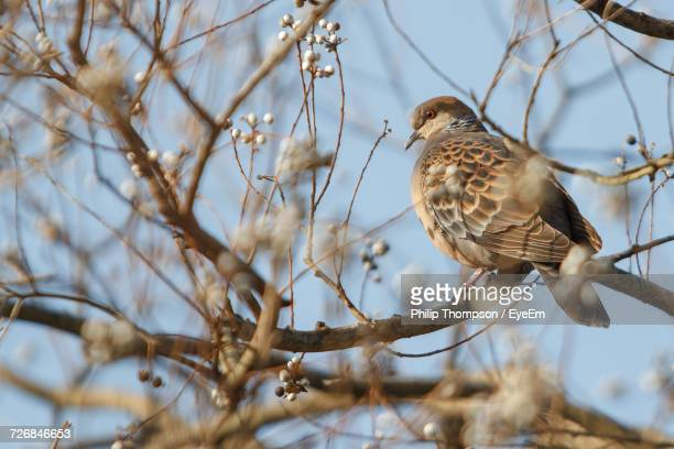 Partridge Perching On Branch Of Bare Pear Tree