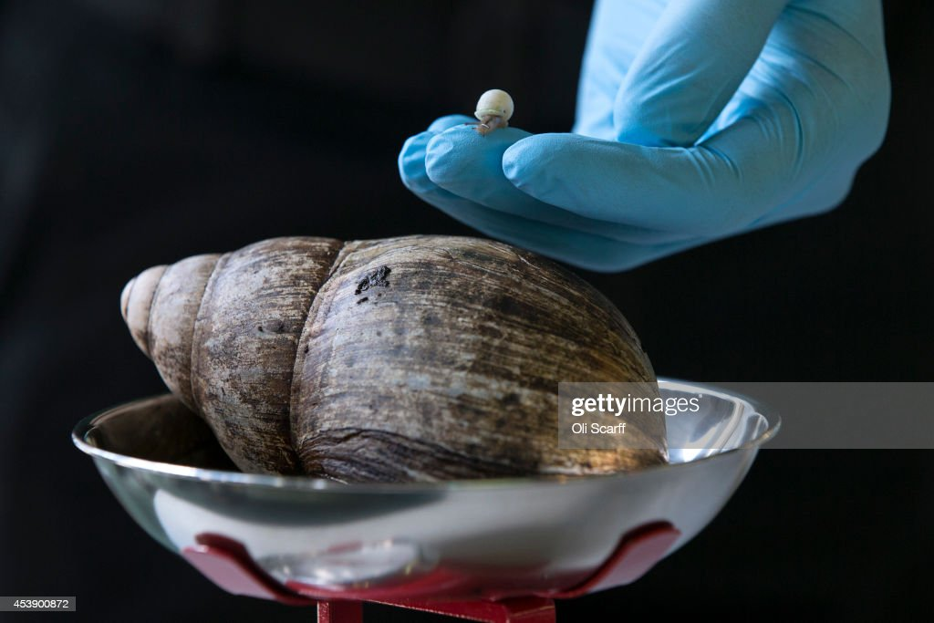 A Partula snail weighting 1mg is held next to an African Land Snail weighing 480kg during the annual weight-in ZSL London Zoo on August 21, 2014 in London, England. The height and mass of every animal in the zoo, of which there are over 16,000, is recorded and submitted to the Zoological Information Management System. This is combined with animal measurement data collected from over 800 zoos and aquariums in almost 80 countries, from which zoologists can compare information on thousands of endangered species.
