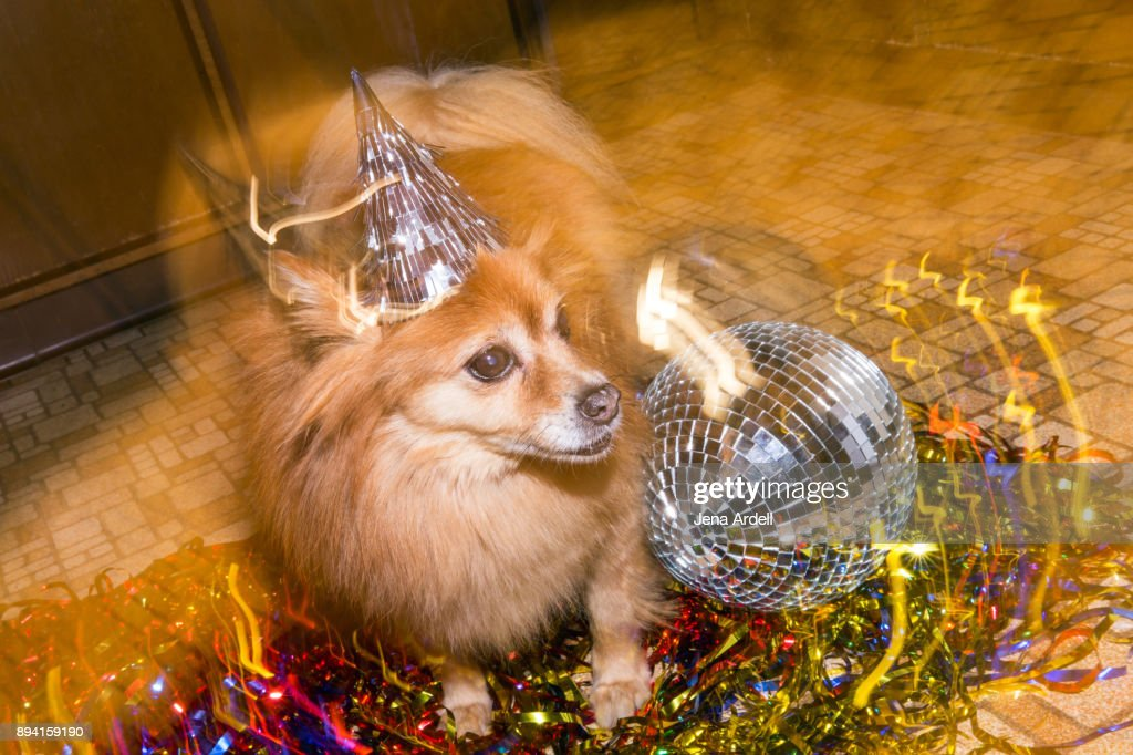 Party Dog Birthday Dog New Years Eve Dog Wearing Party Hat : Stock Photo
