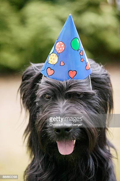Party hat on briard dog