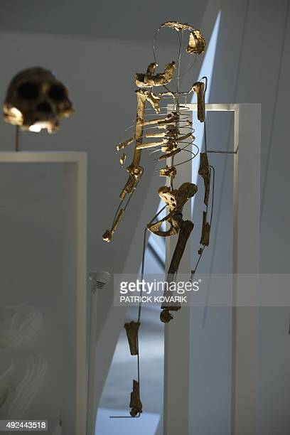 Pascale MOLLARD A picture taken on October 13 2015 shows the fossil skeleton of Lucy a female of the hominin species Australopithecus afarensis found...