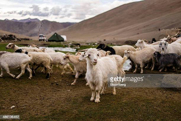 A pashmina goat stands still as other goats and sheep return to their enclosures after spending the day grazing in the valley of Kharnak Jammu and...