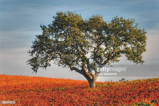 paso robles oak in vineyard - oak tree stock pictures, royalty-free photos & images